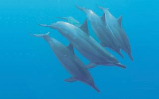 Simmar med vilda delfiner